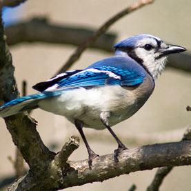 birds-sound-the-alarm-on-west-nile-virus_1