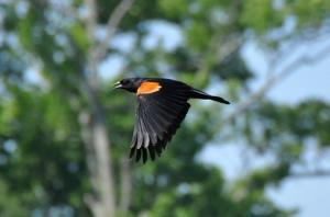 blackBird-thumb-480xauto-1978